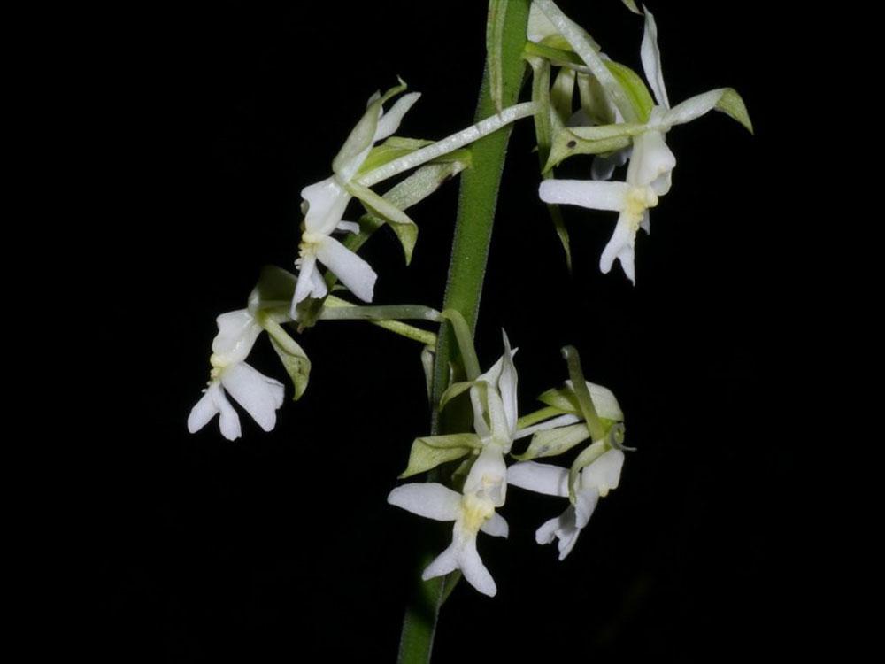剑叶虾脊兰Calanthe davidii Franch.