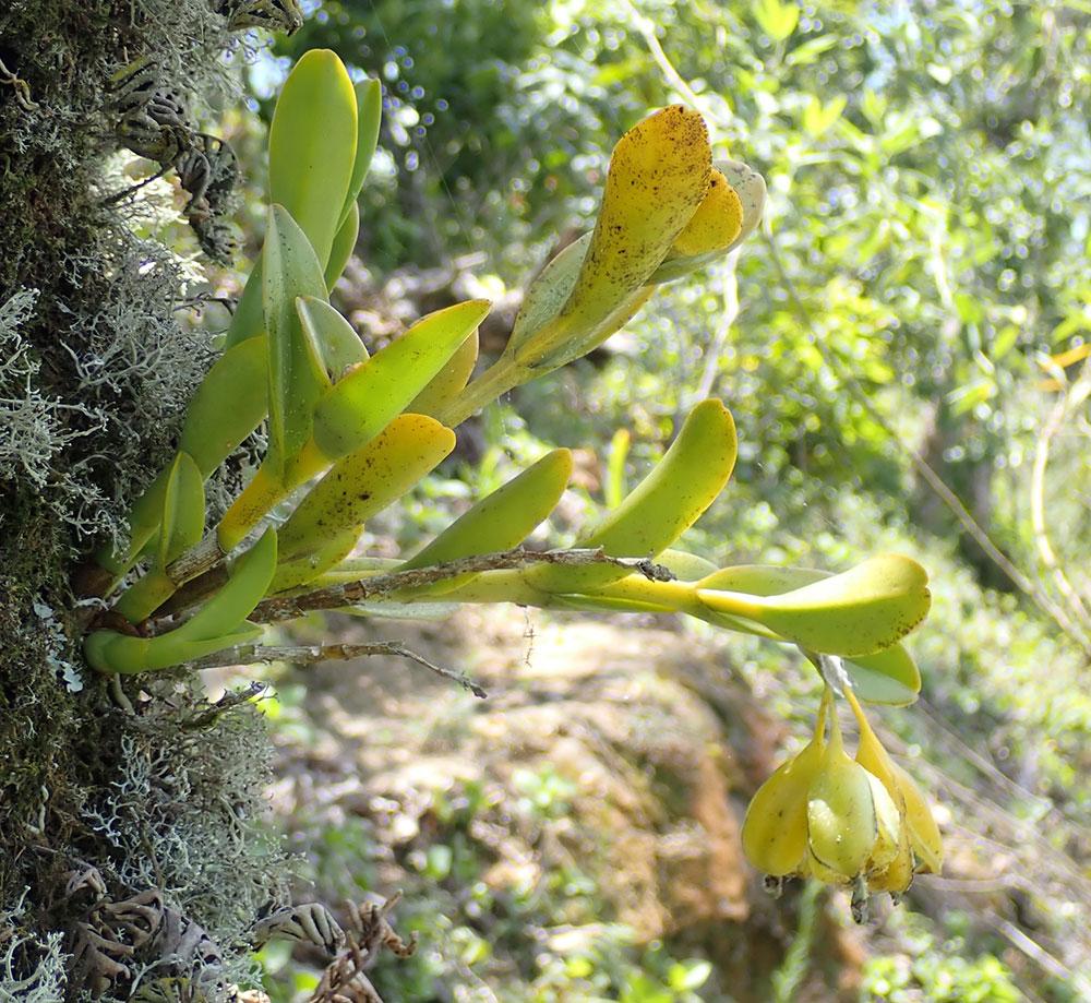 树兰属/柱瓣兰属Epidendrum L.