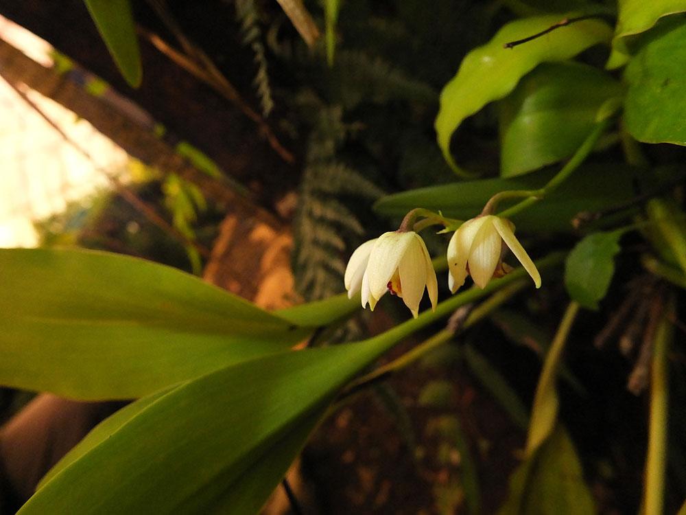 足茎毛兰Eria coronaria (Lindl.) Rchb.f.