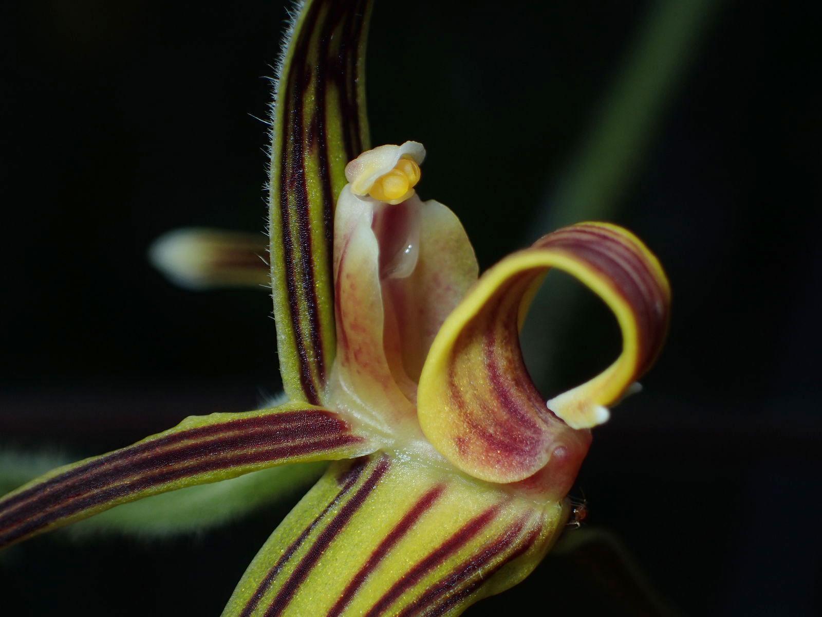 毛梗兰Eriodes barbata (Lindl. ) Rolfe