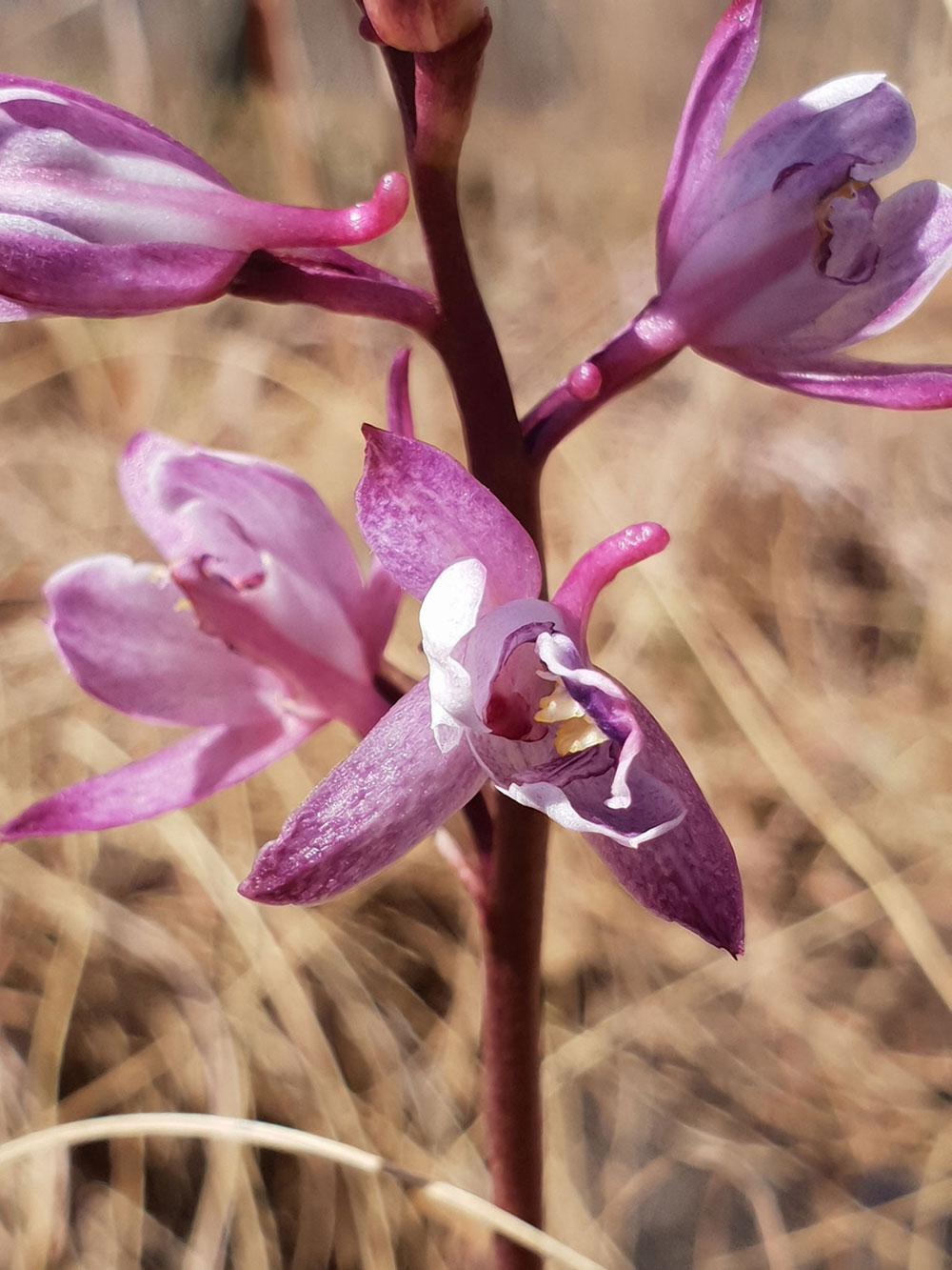 美冠兰属Eulophia R. Br. ex Lindl.