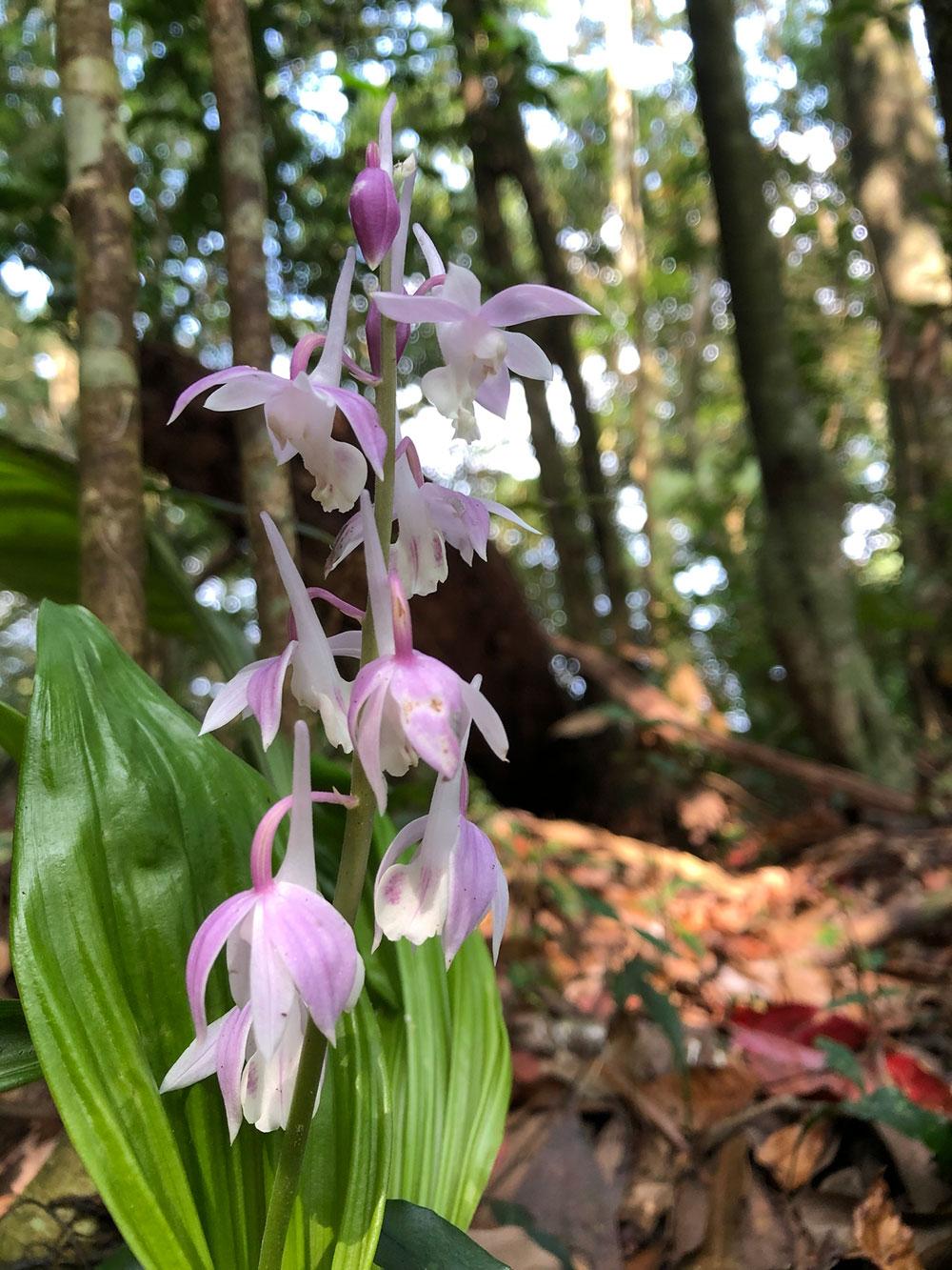 翘距虾脊兰Calanthe aristulifera Rchb.f.