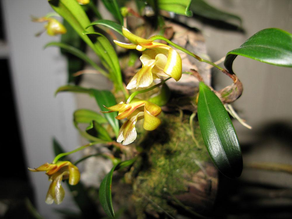 台湾厚唇兰Epigeneium nakaharaei (Schltr.) Summerh