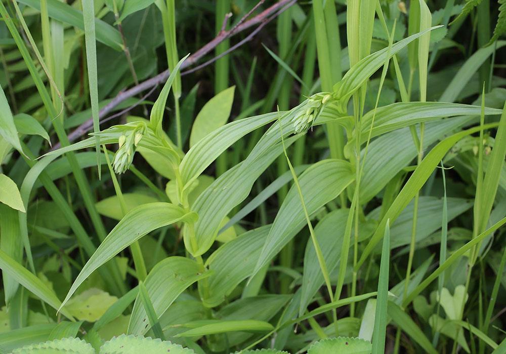 尖叶火烧兰Epipactis thunbergii A.Gray