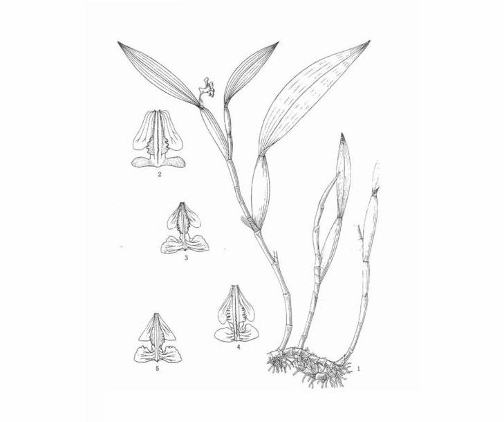 三脊金石斛Flickingeria tricarinata Z.H.Tsi & S.C.Chen