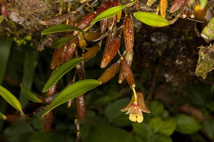 狭叶金石斛Flickingeria angustifolia (Bl.) Hawkes