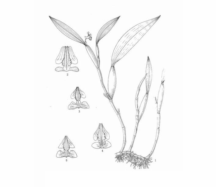 红头金石斛Flickingeria calocephala Z. H. Tsi et S. C. Chen