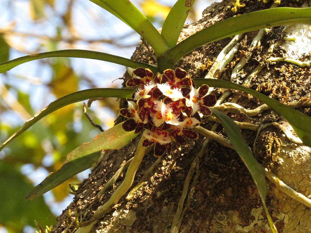 大花盆距兰Gastrochilus bellinus (Rchb. f.) Kuntze