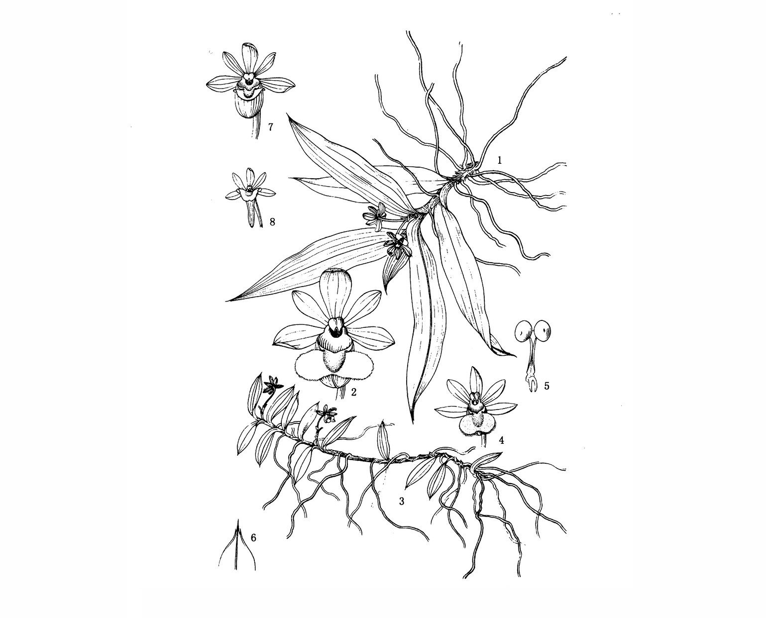 狭叶盆距兰Gastrochilus linearifolius Z. H. Tsi et Garay