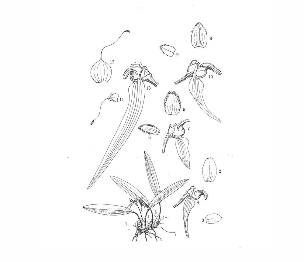 城口盆距兰Gastrochilus fargesii (Kraenzl.) Schltr.