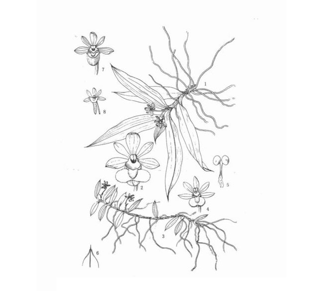 中华盆距兰Gastrochilus sinensis Z. H. Tsi