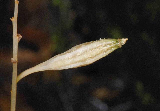 秋天麻Gastrodia autumnalis T. P. Lin