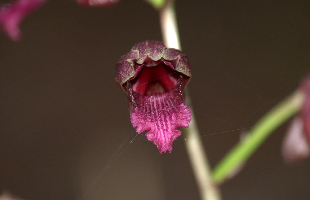 紫花美冠兰Eulophia spectabilis (Dennst.) Suresh