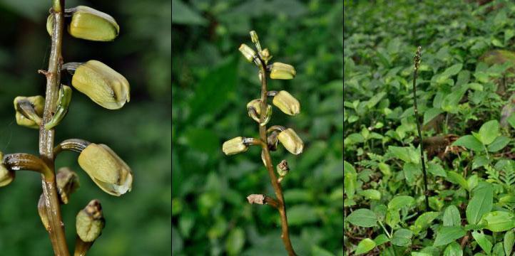 夏天麻Gastrodia flavilabella S.S.Ying