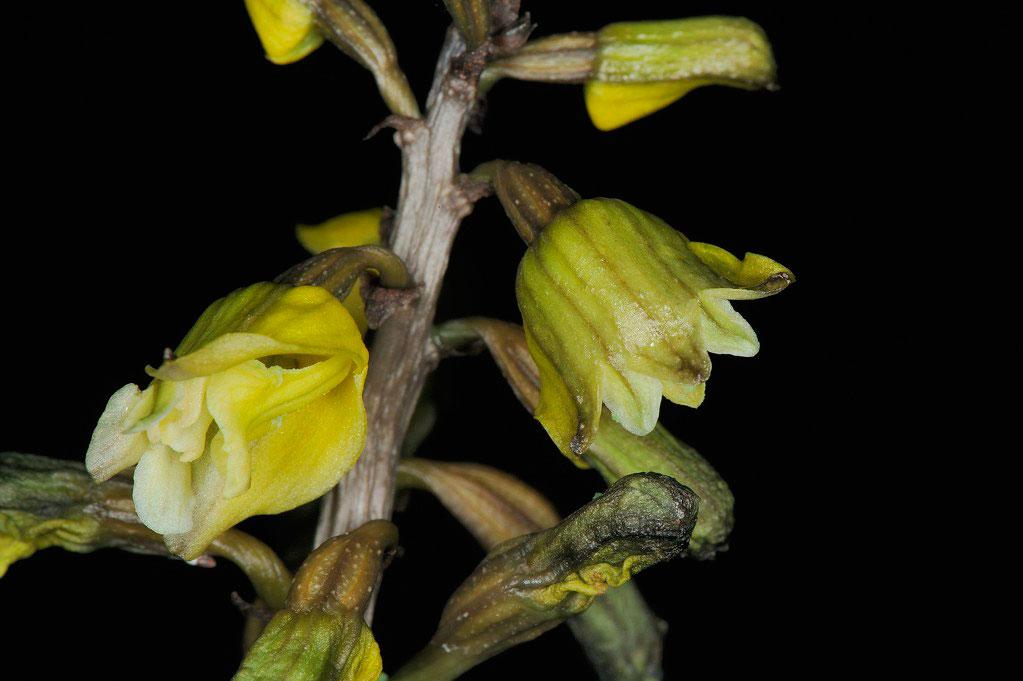 南天麻Gastrodia javanica (Bl.) Lindl.