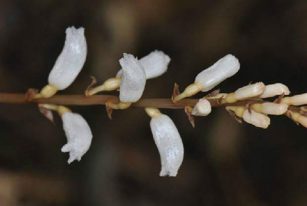 勐海天麻Gastrodia menghaiensis Z.H.Tsi & S.C.Chen