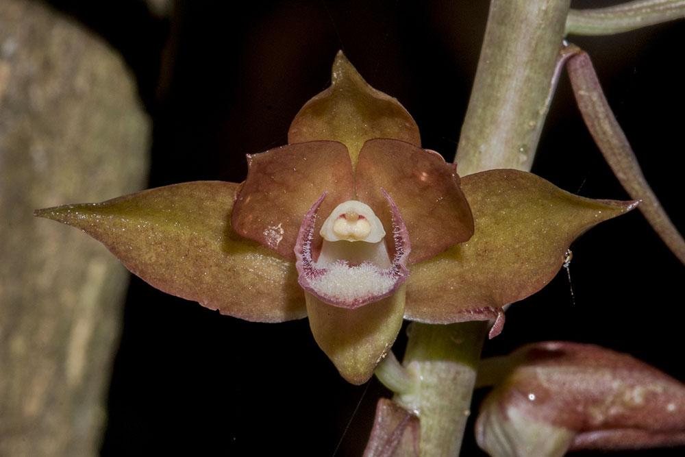 无叶美冠兰Eulophia zollingeri (Rchb. f.) J. J. Smith