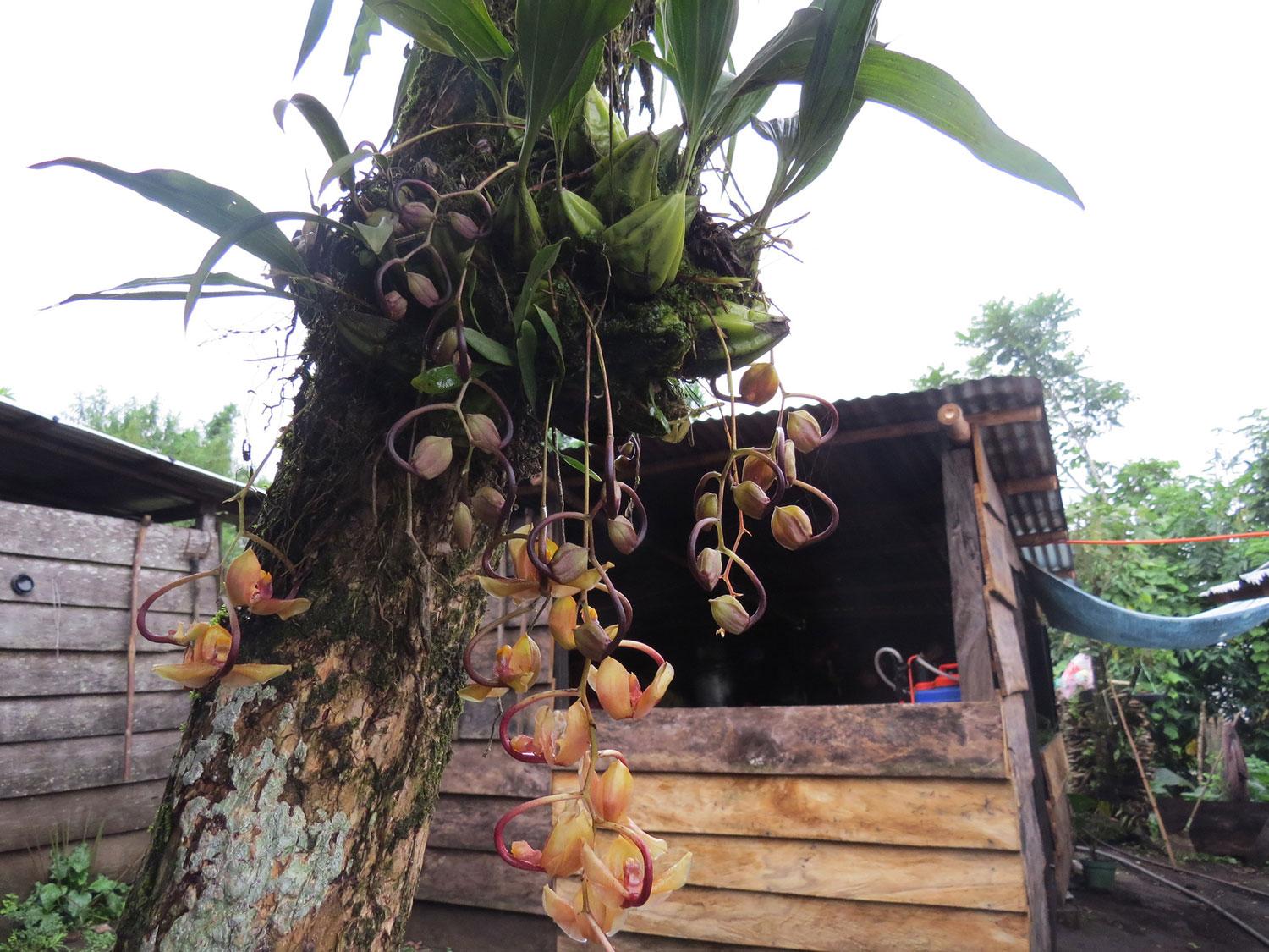 盔状爪唇兰Gongora galeata Rchb.f.