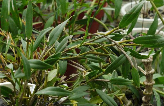 二色金石斛Flickingeria bicolor Z. H. Tsi et S. C. Chen