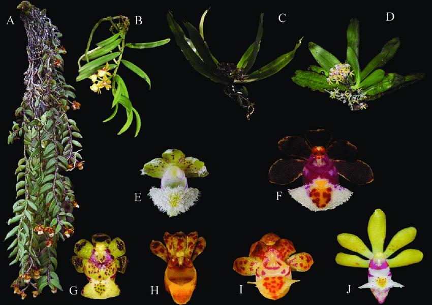 盆距兰属Gastrochilus D.Don