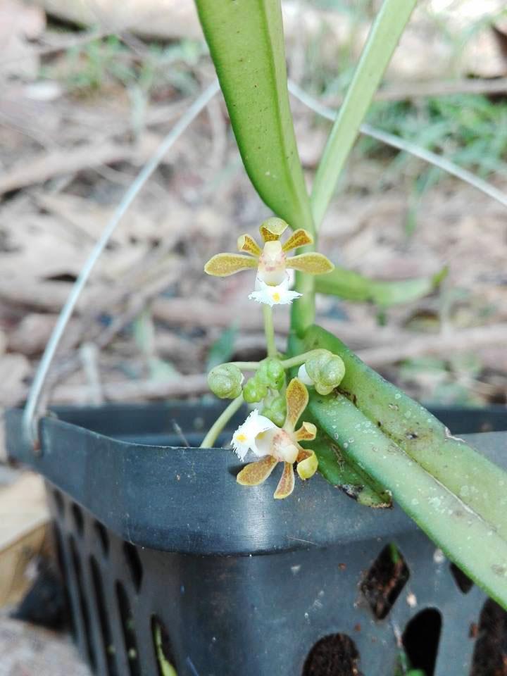 宣恩盆距兰Gastrochilus xuanenensis Z. H. Tsi