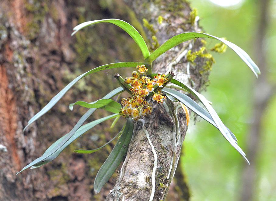 盆距兰Gastrochilus calceolaris (Buch.-Ham. ex J. E. Smith) D. Don
