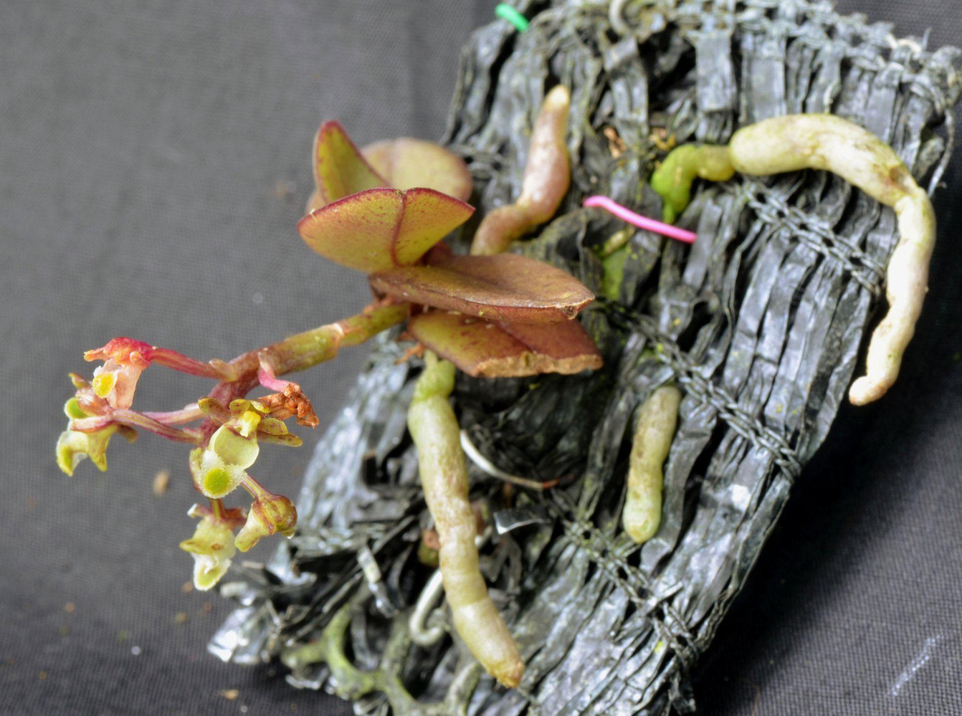 滇南盆距兰Gastrochilus platycalcaratus (Rolfe) Schltr.