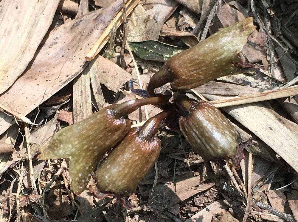 春天麻Gastrodia fontinalis T. P. Lin