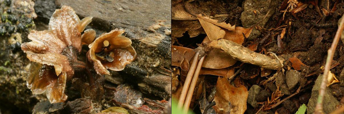 冬天麻Gastrodia hiemalis T. P. Lin