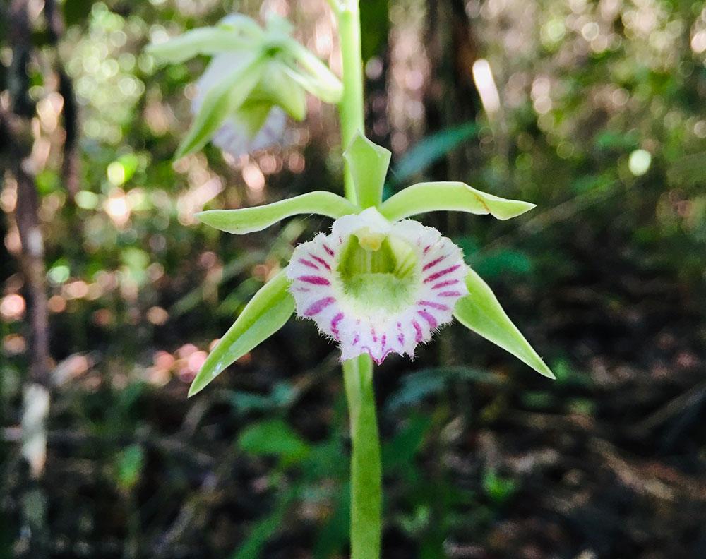 鼬蕊兰属Galeandra Lindl.