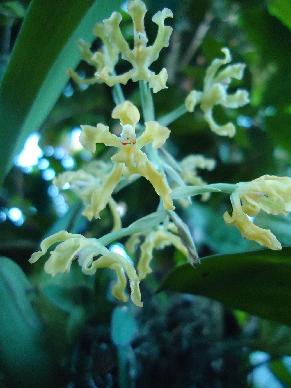 皱波宫美兰Gomesa crispa (Lindl.) Klotzsch ex Rchb.f.