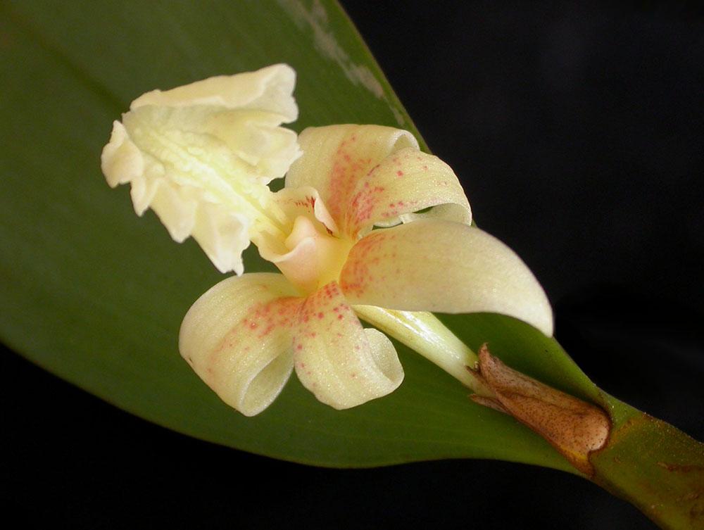 流苏金石斛Flickingeria fimbriata (Bl. ) Hawkes