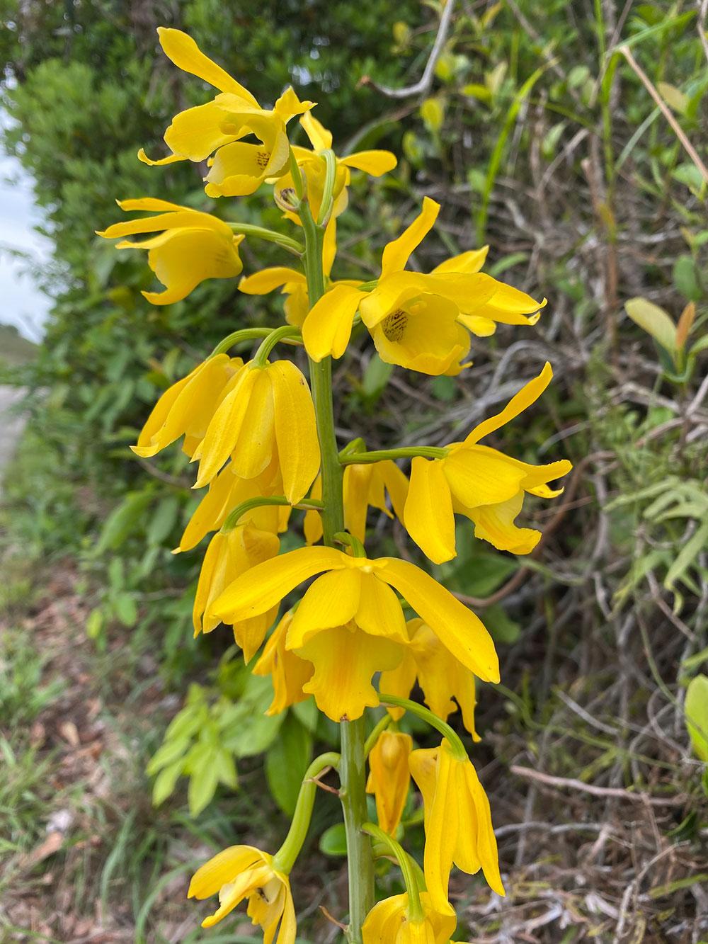黄花美冠兰Eulophia flava (Lindl.) Hook. f.