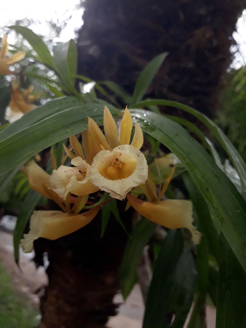 包氏鼬蕊兰Galeandra baueri Lindl.