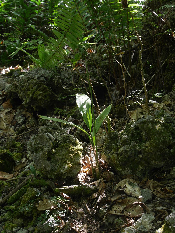 美花美冠兰Eulophia pulchra (Thou.) Lindl.