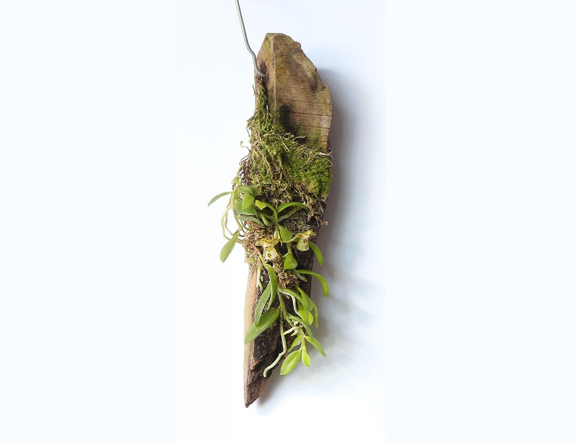 盆距兰栽培和种植养护方法