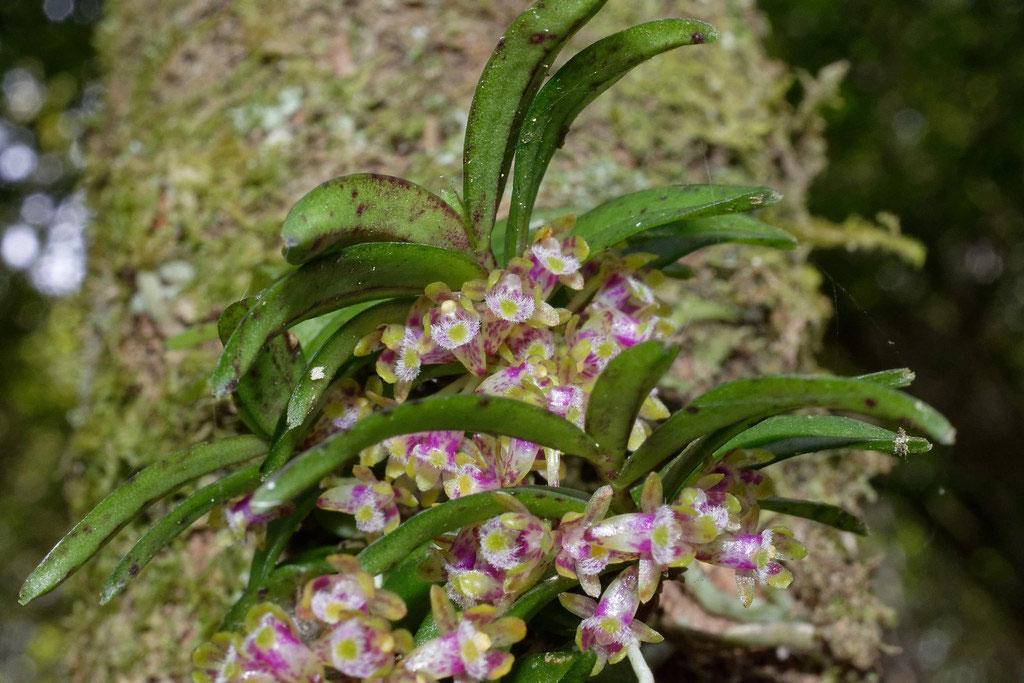 红松盆距兰Gastrochilus raraensis Fukuyama