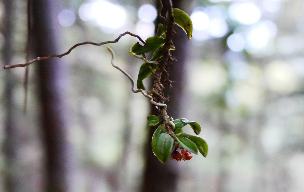 何氏盆距兰Gastrochilus hoii T. P. Lin