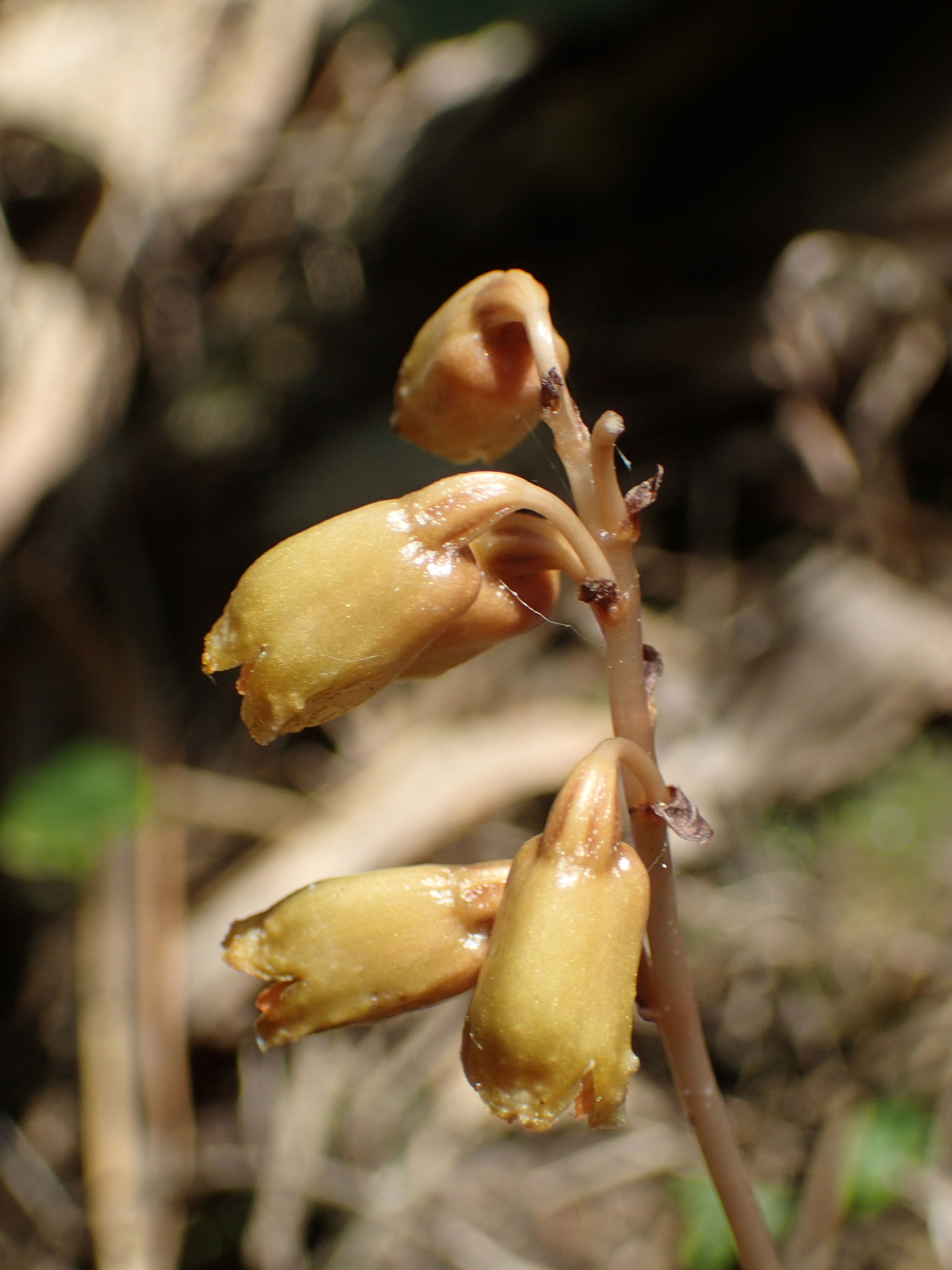 细天麻Gastrodia gracilis Bl.