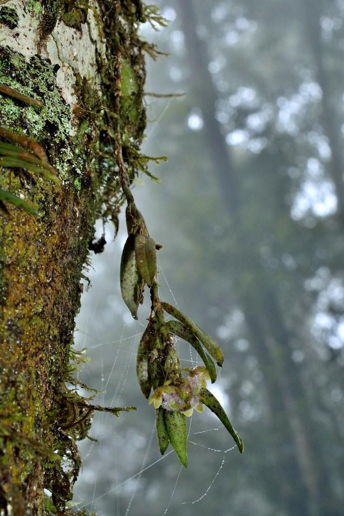 宽唇盆距兰Gastrochilus matsudai Hayata