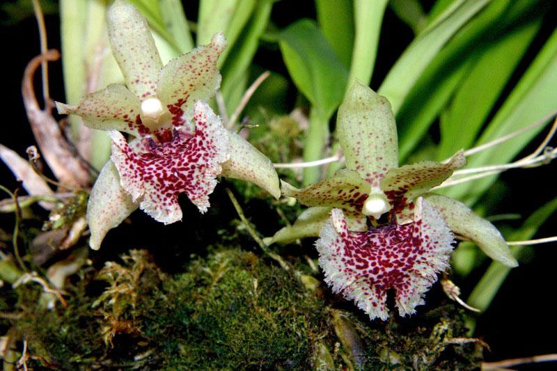 薄片克兰Kefersteinia laminata Rchb.f.
