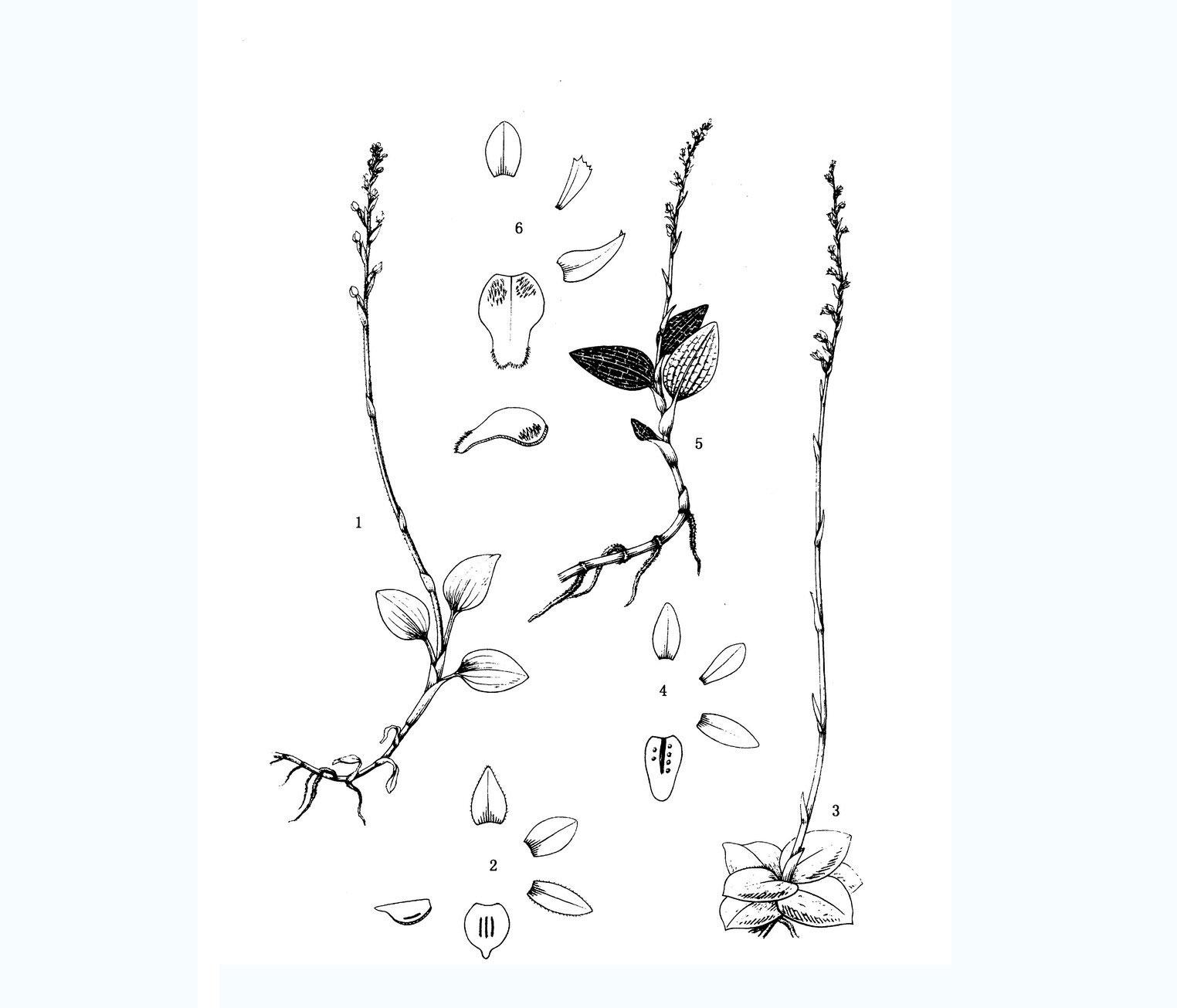 始兴斑叶兰Goodyera shixingensis K.Y.Lang