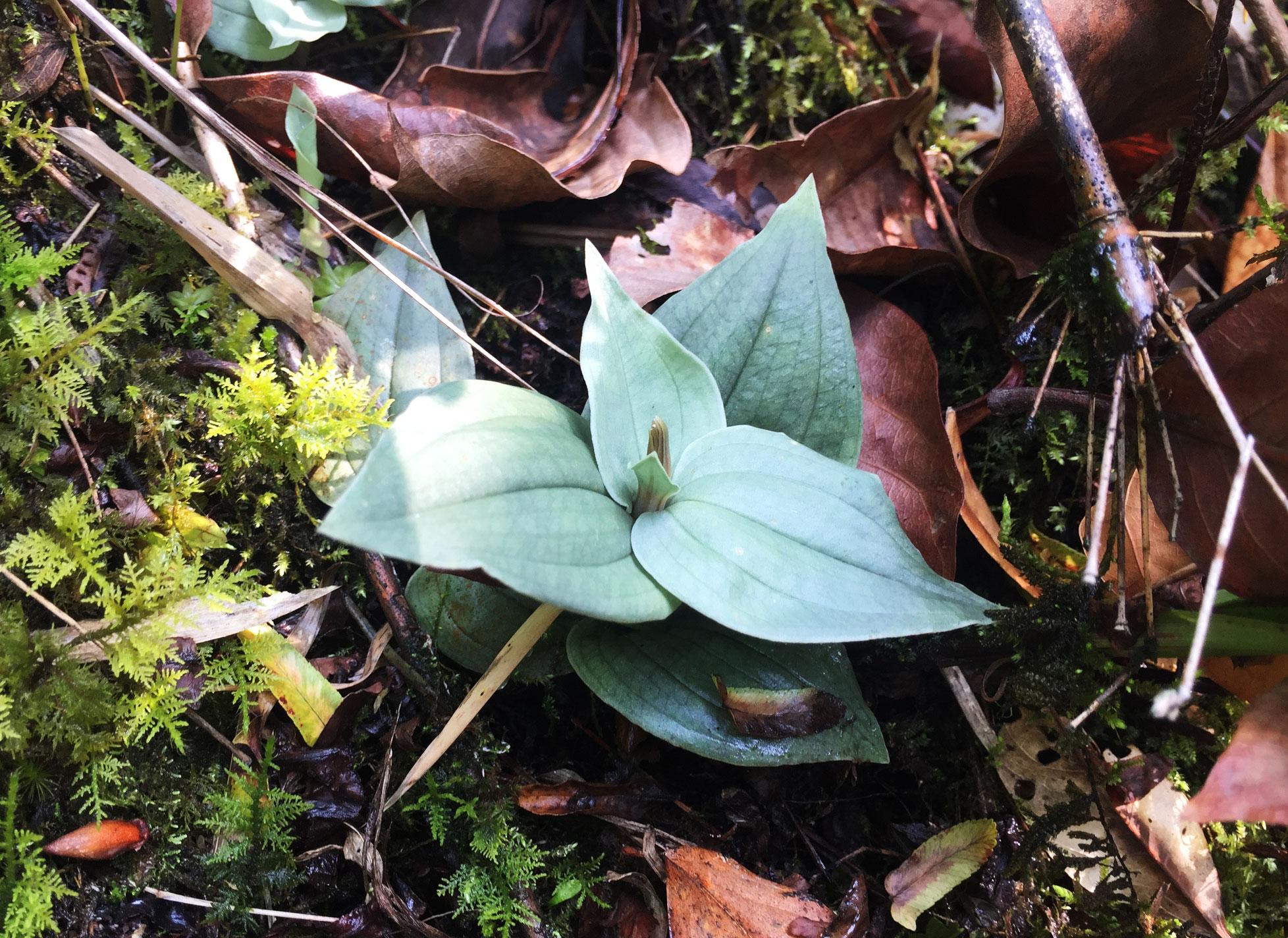 绿花斑叶兰Goodyera viridiflora (Bl.) Bl.