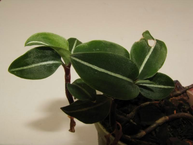 秀丽斑叶兰Goodyera vittata Benth. ex Hook. f.