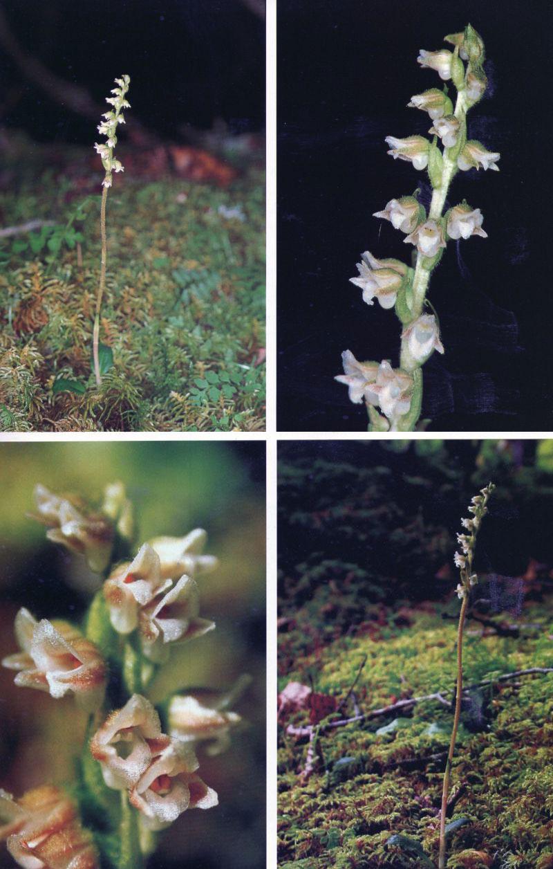 川滇斑叶兰Goodyera yunnanensis Schltr.