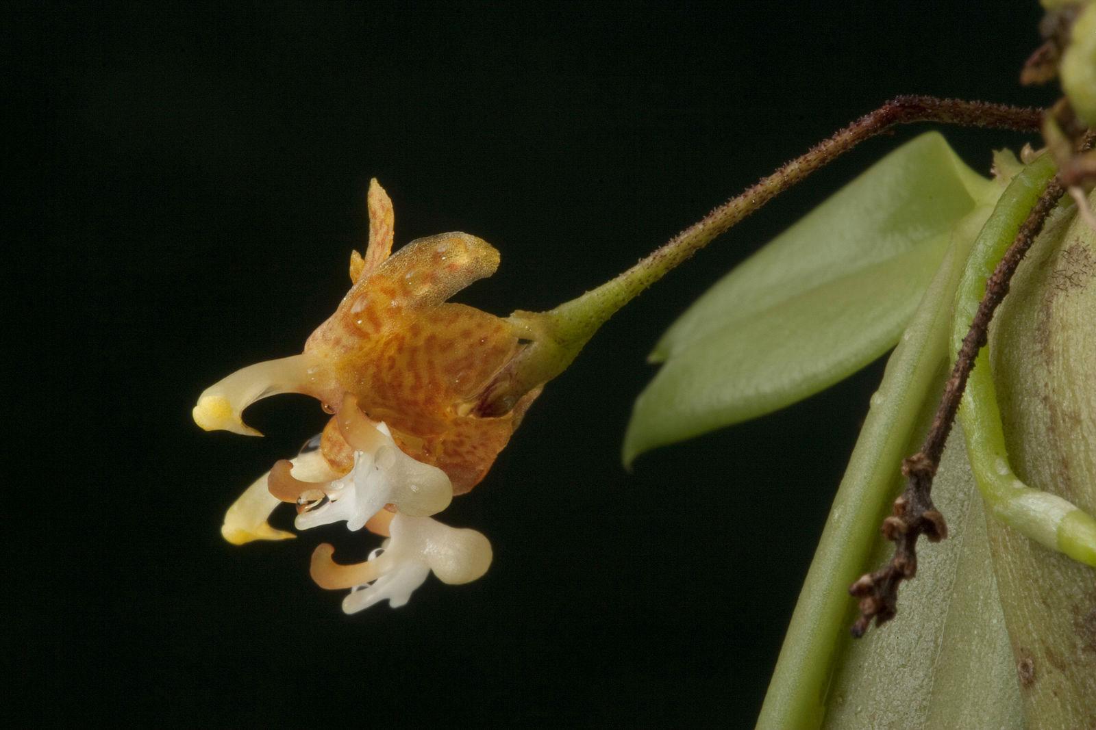 火炬兰属/长脚兰属Grosourdya Rchb.f.