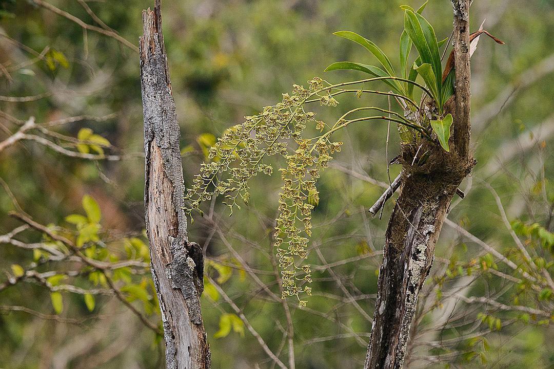 巨兰属/斑被兰属Grammatophyllum Blume
