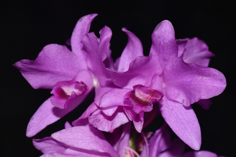 包氏瓜利兰Guarianthe bowringiana