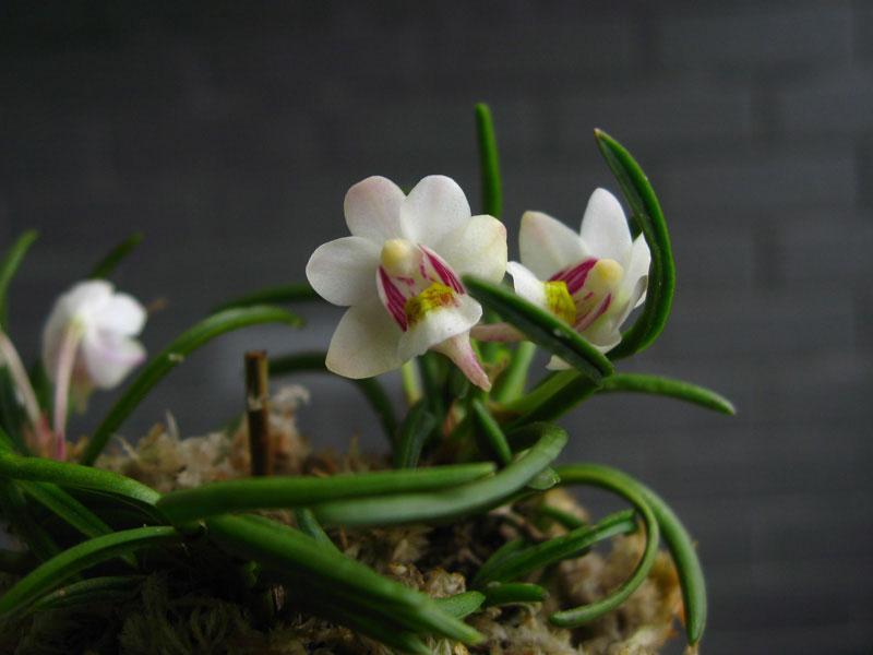 峨眉槽舌兰Holcoglossum omeiense X. H. Jin & S. C. Chen