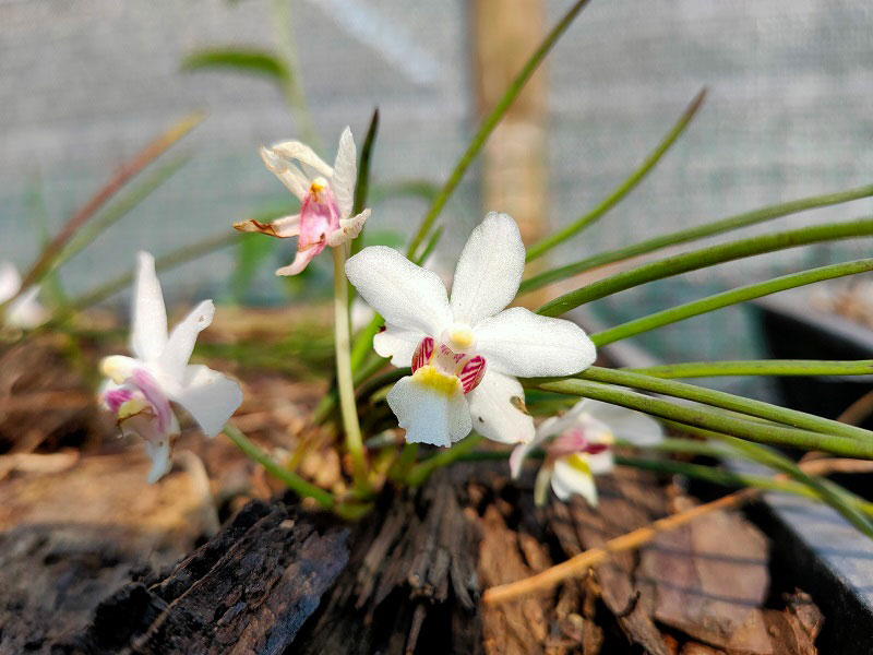 怒江槽舌兰Holcoglossum nujiangense X. H. Jin & S. C. Che